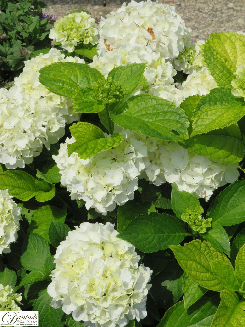 Weiß blühende Hortensien