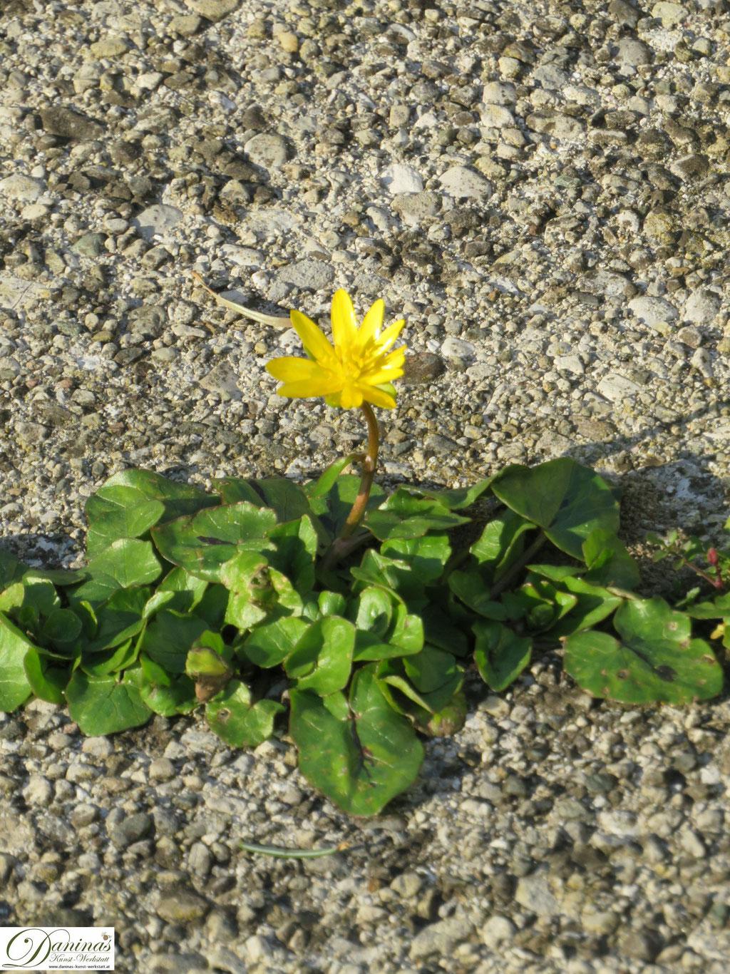Scharbockskraut im Garten - Wilde gelbe Wiesenblumen im Frühling