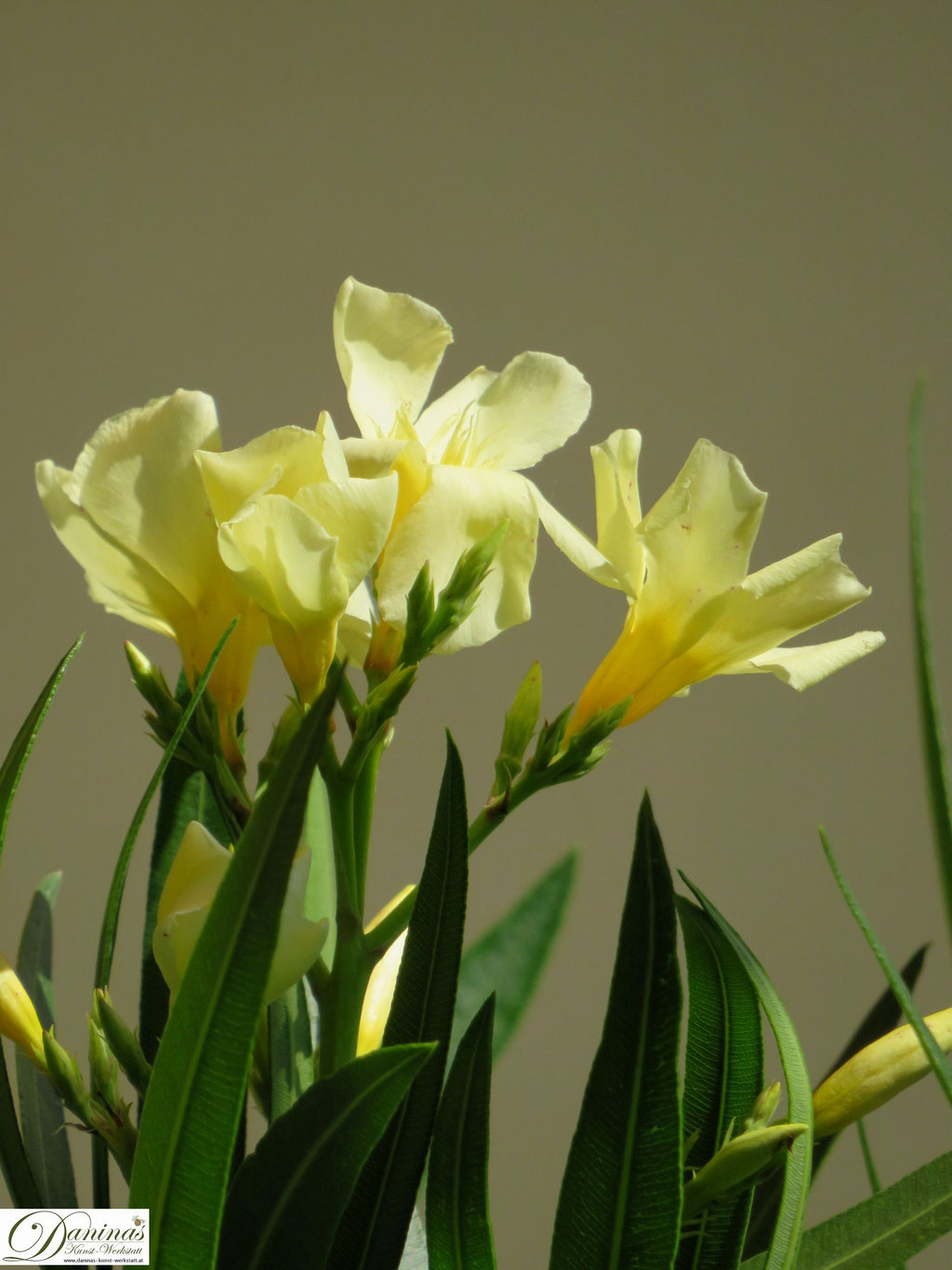 gelb blühender Oleander im Sommer