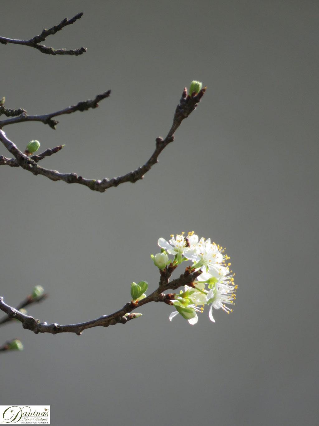 Pflaumenbaum (Zwetschkenbaum) - erste Blüten im Frühling
