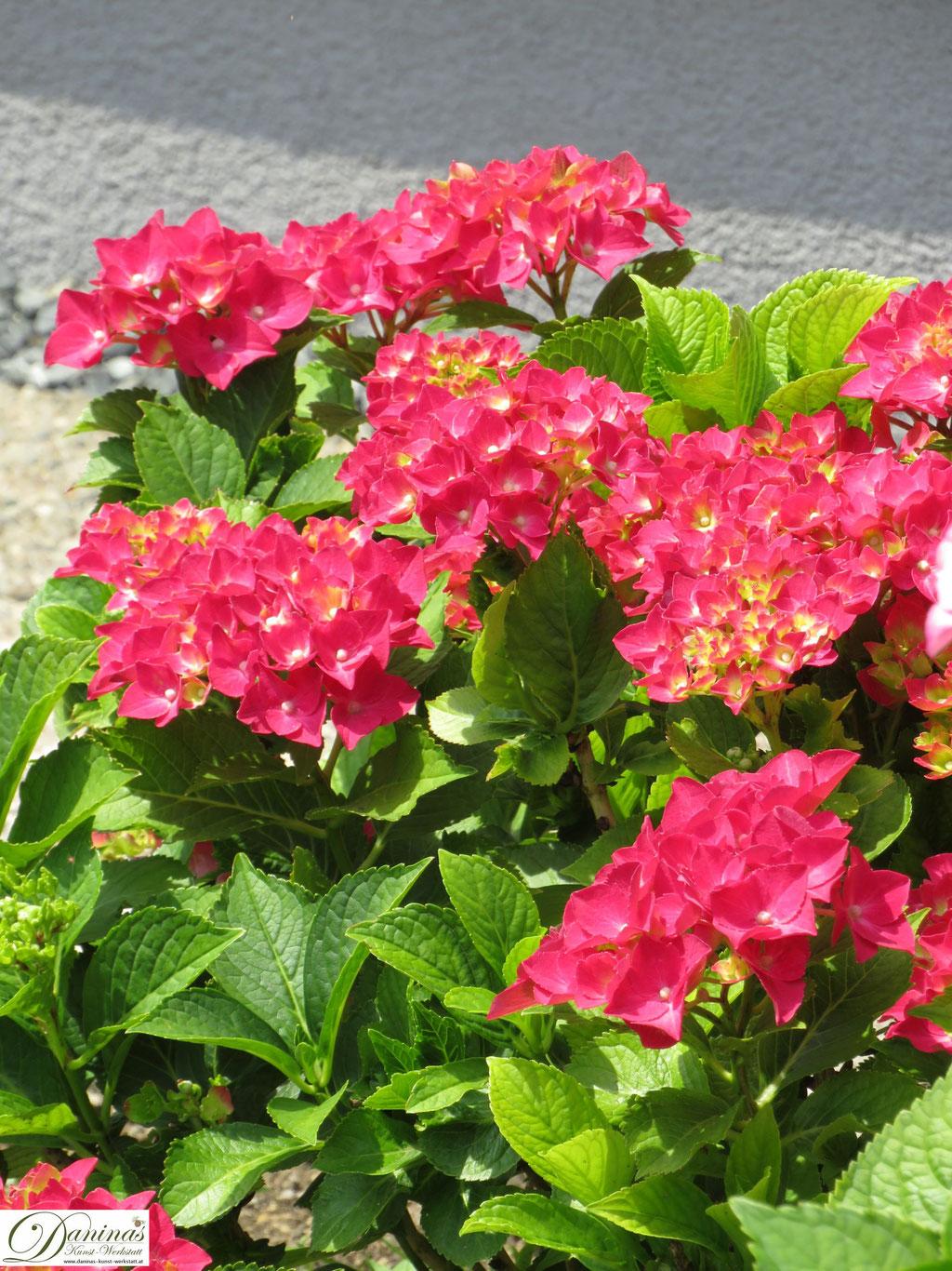Rot blühender Hortensienstrauch