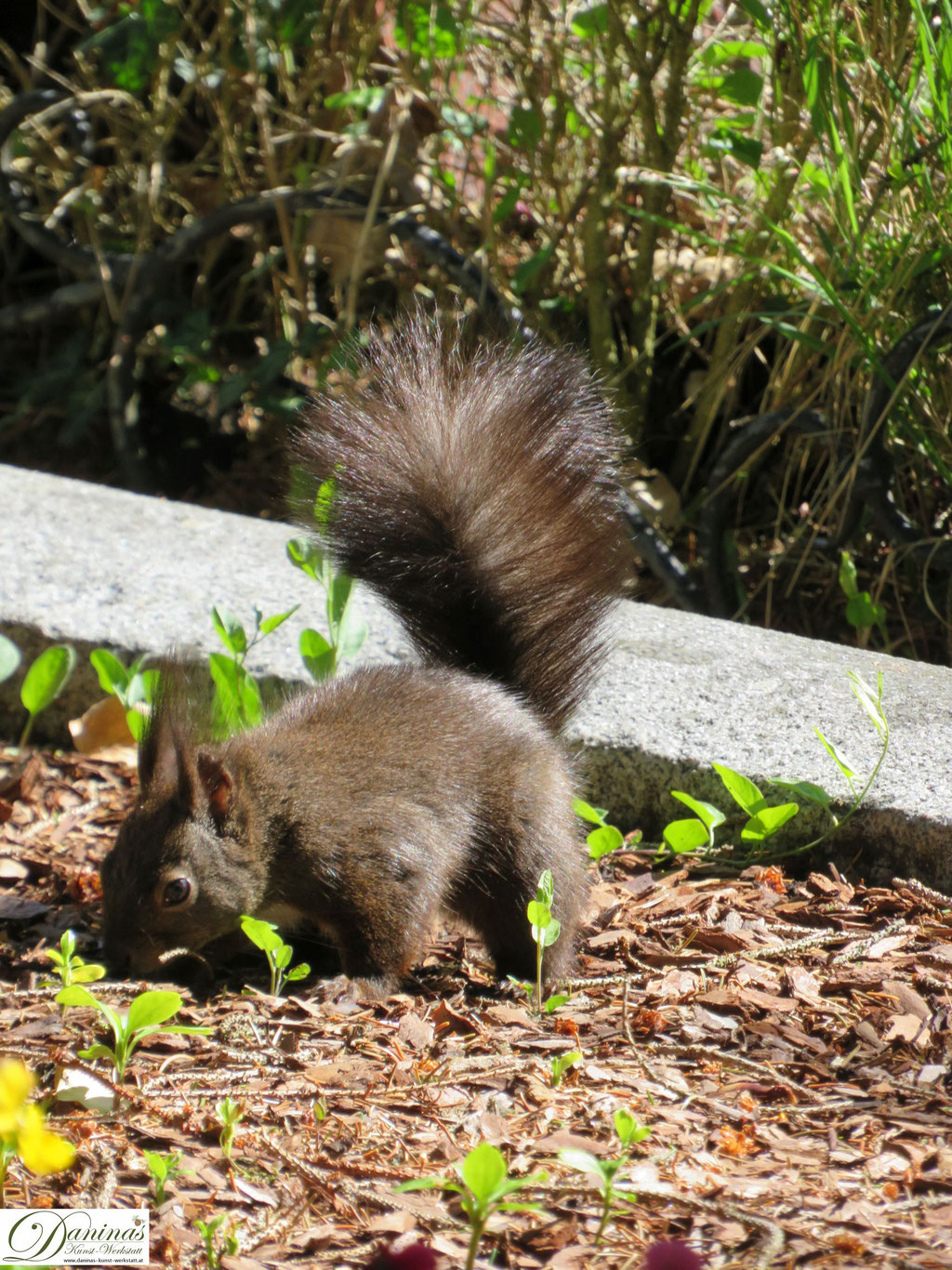 Eichhörnchen auf Nahrungssuche im Beet