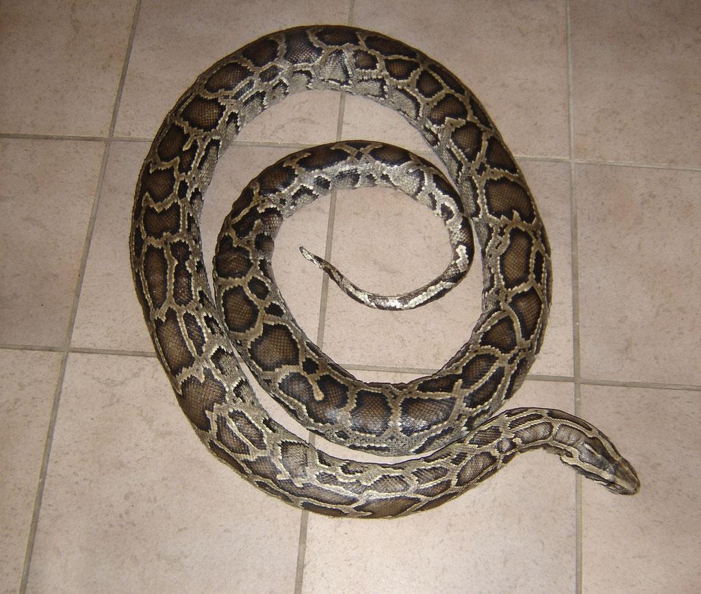 Präparierte Schlange