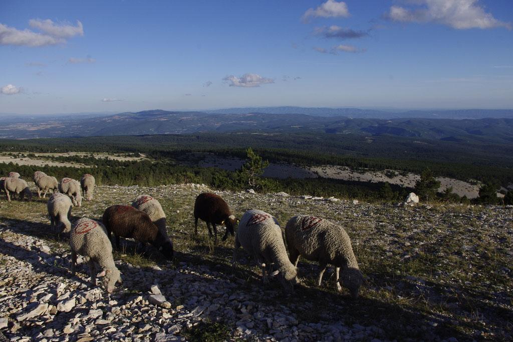 Schafe auf dem Mont Ventoux