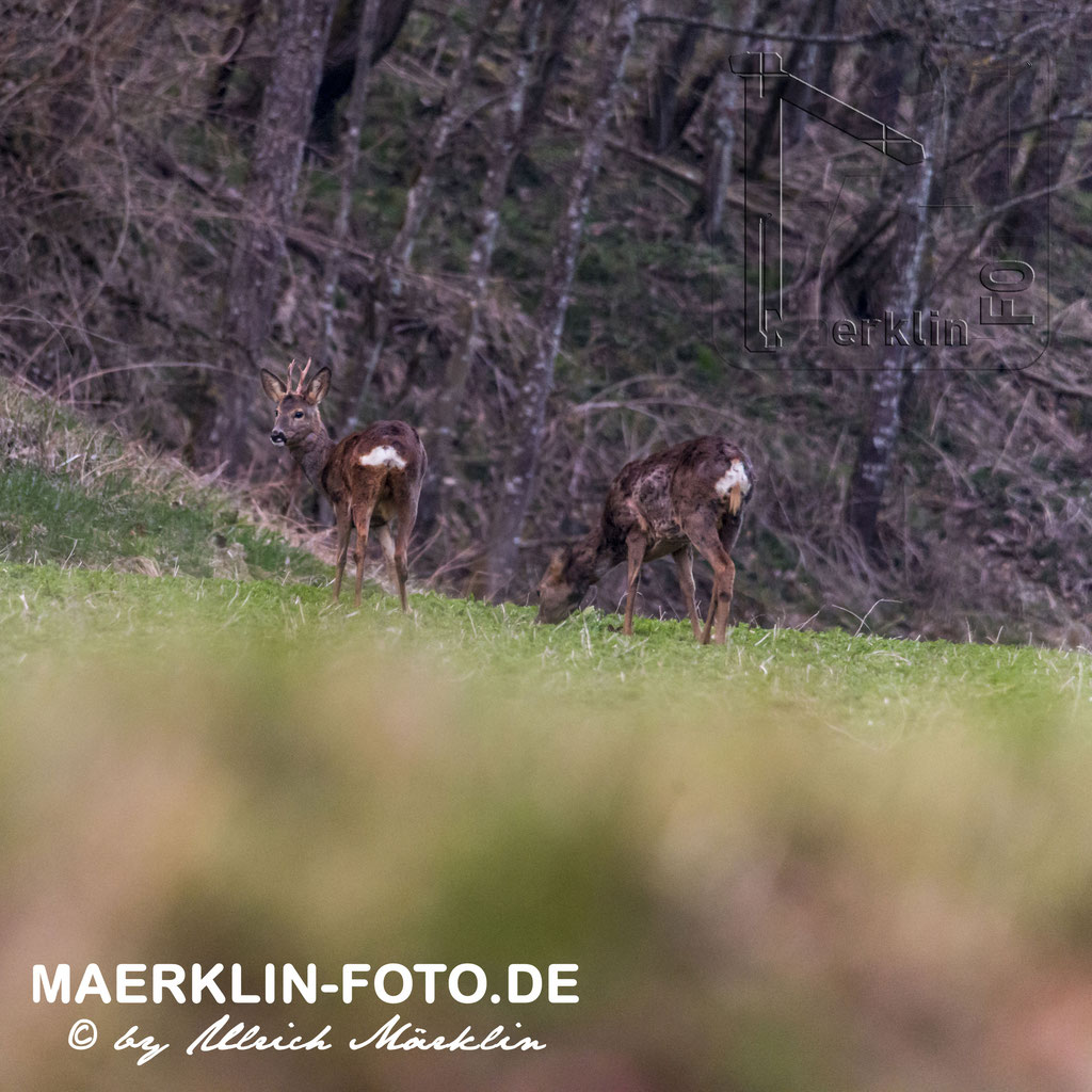 Heckengäu, Rehwild/Rehböcke