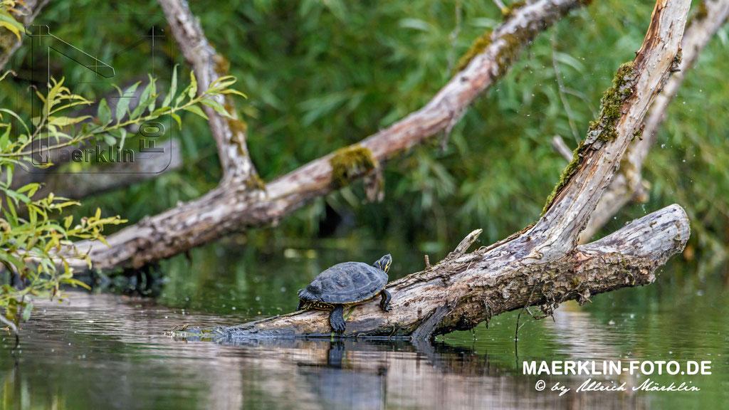 Europäische Sumpfschildkröte (Emys orbicularis)