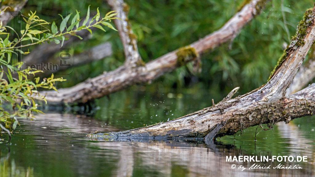 Europäische Sumpfschildkröte (Emys orbicularis), geflüchtet