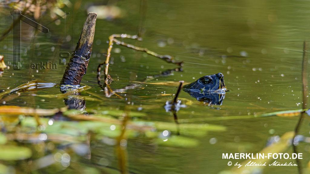 Gelbwangenschildkröte, Kopf über Wasser, fast getaucht