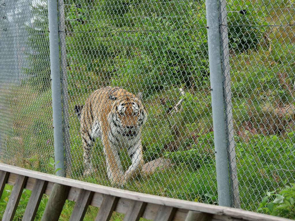 Tiger Orsa Bjornpark Bärenpark Wildpark Schweden Skandinavien #NordkappUndZurück #Driveyourownway #explorewithoutnoimits wolf78-overland
