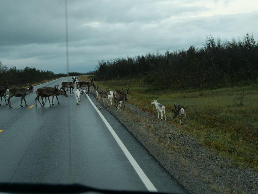 Rentiere Norwegen Norge Hilux Skandinavien #NordkappUndZurück #Driveyourownway #explorewithoutnoimits wolf78-overland