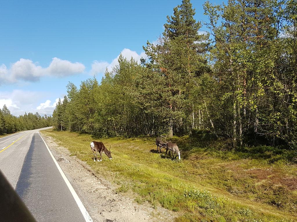 Rentiere Finnnmark Finnland Skandinavien #NordkappUndZurück #Driveyourownway #explorewithoutnoimits wolf78-overland