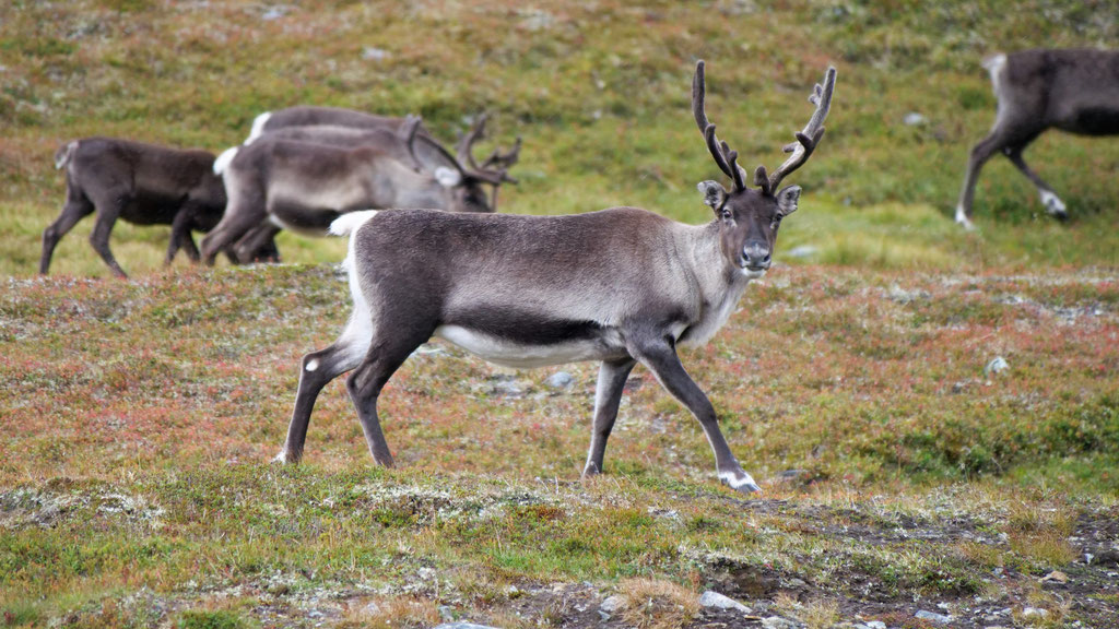 Rentier Bulle Schweden vildmarksvägen stekenjokk Skandinavien wolf78 #ProjektBlackwolf explore without no limits roadtrip offroad overland Travel Camping Overlandingnomads Dachzeltnomaden wolf78-overland.ch