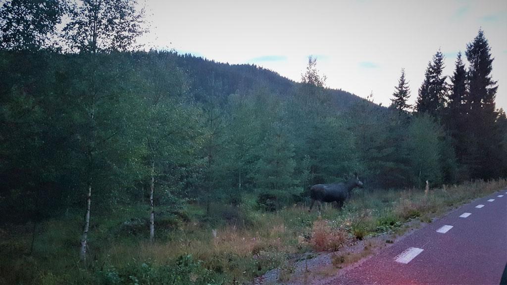 Elch overland Travel Camping #ProjektBlackwolf Schweden Skandinavien wolf78  explore without no limits roadtrip offroad Overlandingnomads Dachzeltnomaden wolf78-overland.ch