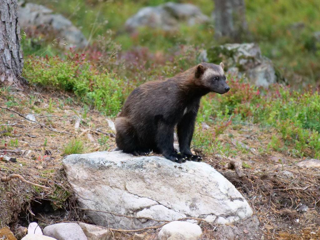 Vielfrass Orsa Bjornpark Bärenpark Wildpark Schweden Skandinavien #NordkappUndZurück #Driveyourownway #explorewithoutnoimits wolf78-overland
