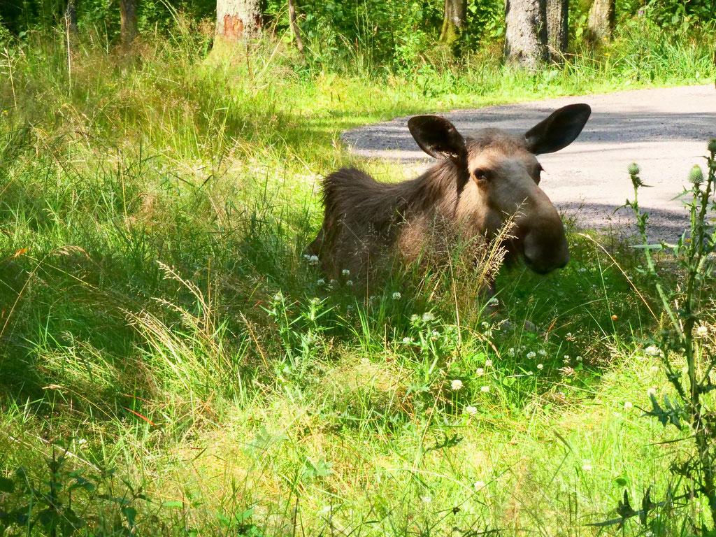 Schweden älg safari Smålandet Moose Safari Elch overland Travel Camping #ProjektBlackwolf Skandinavien wolf78  explore without no limits roadtrip offroad Overlandingnomads Overlandbound wolf78-overland.ch