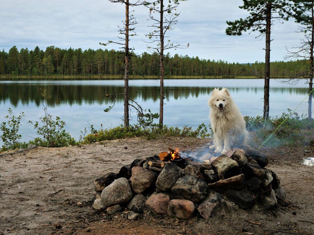Samojede Piellojaure See Schweden Skandinavien wolf78 #ProjektBlackwolf explore without no limits roadtrip offroad overland Travel Camping Overlandingnomads Dachzeltnomaden wolf78-overland.ch