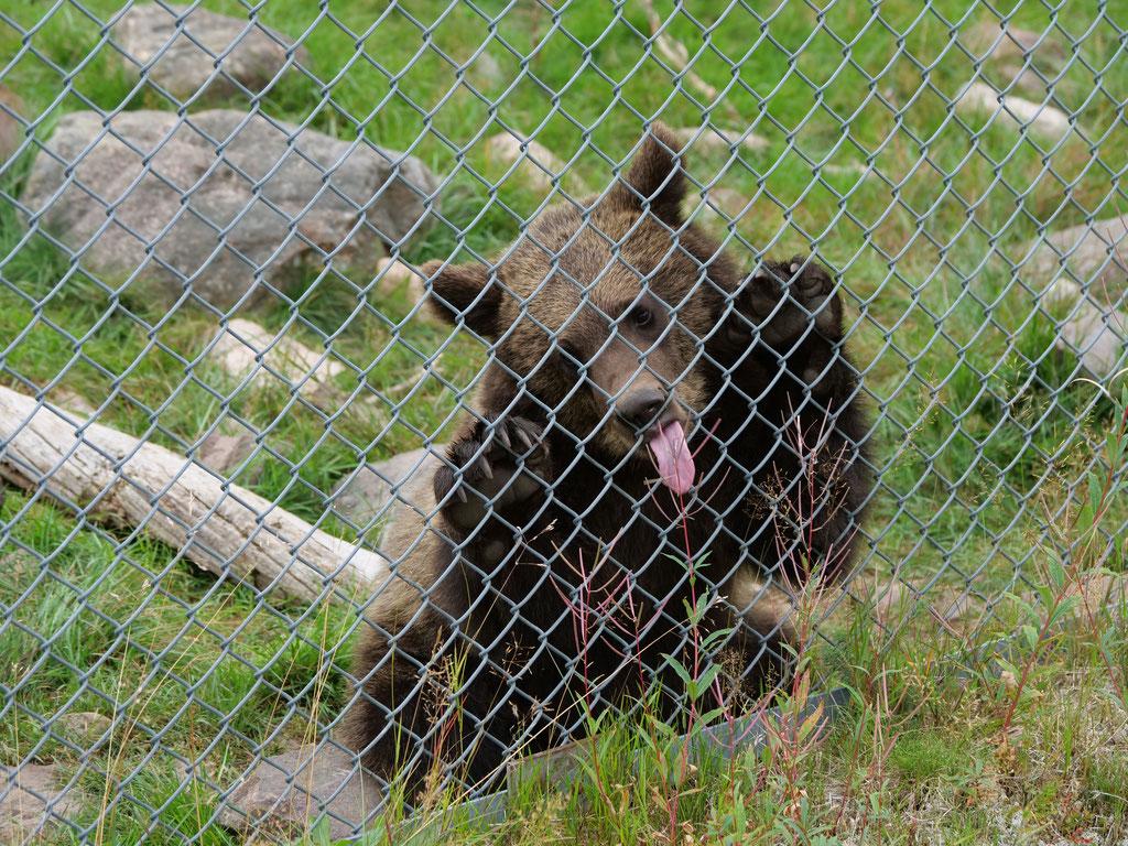 Orsa Bjornpark Bärenpark Wildpark Schweden Skandinavien #NordkappUndZurück #Driveyourownway #explorewithoutnoimits wolf78-overland