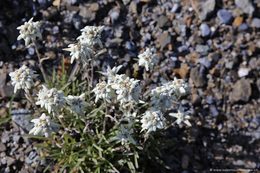 Edelweiss - zu bestaunen im alpinen Garten beim Allmendhubel