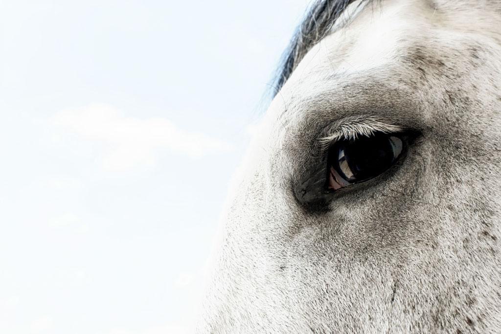 Tierfotografie Pferd Augen