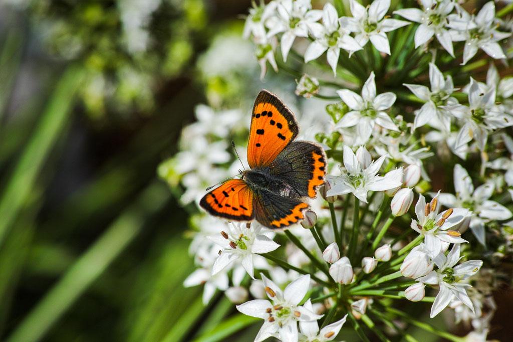 Small Copper [Lycaena phlaeas]