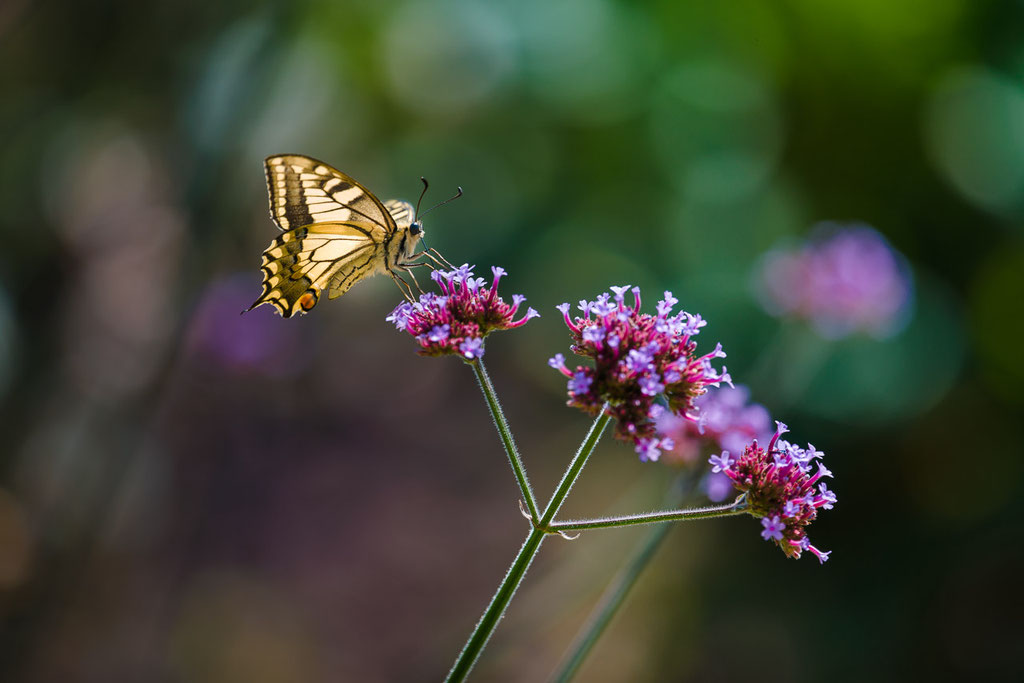 Swallowtail butterfly [Papilio machaon]