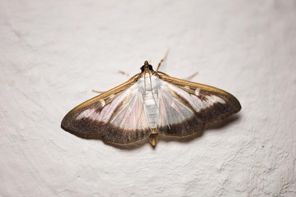 So ein schöner Schmetterling - der Buchsbaumzünsler [Cydalima perspectalis]