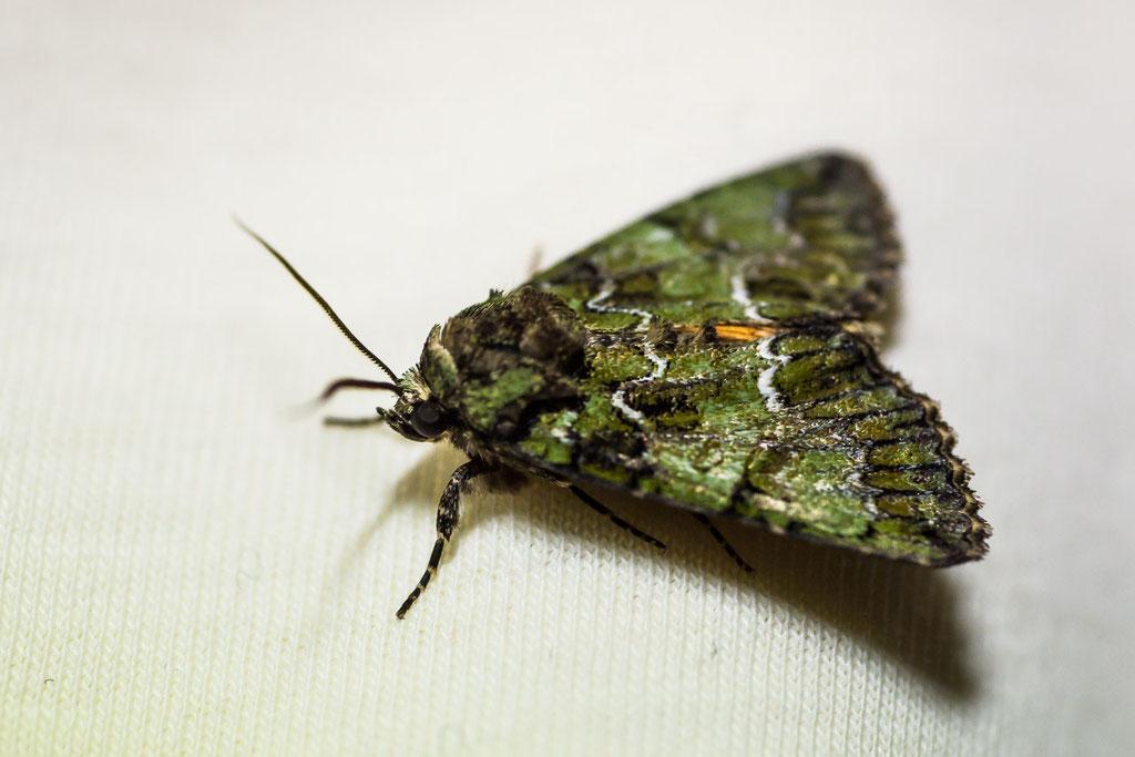 Grüne Heidelbeereule [Anaplectoides prasina]