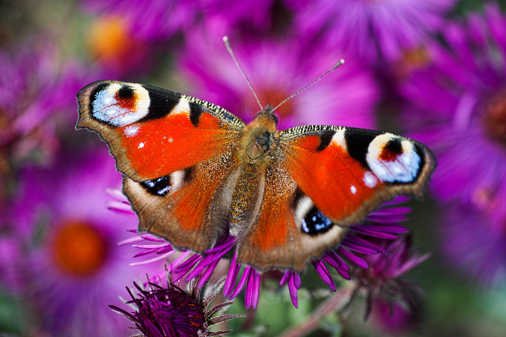 Peacock butterfly [Inachis io]