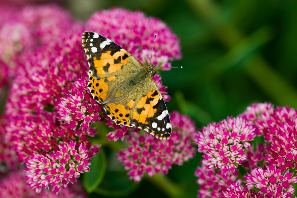 Painted Lady [Vanessa cardui]