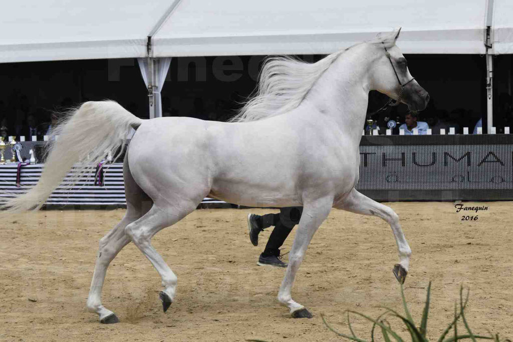 Show International de chevaux ARABES de MENTON 2016 - AJA ANGELO - 26
