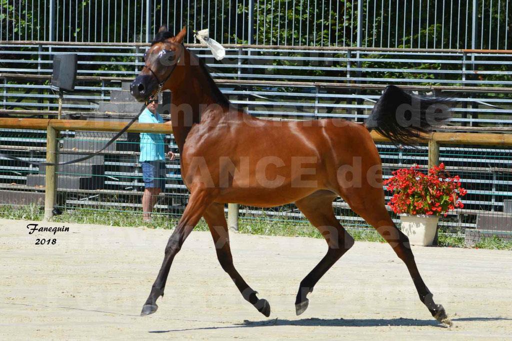 Championnat de FRANCE de chevaux Arabes à Pompadour en 2018 - BO AS ALEXANDRA - Notre Sélection - 05