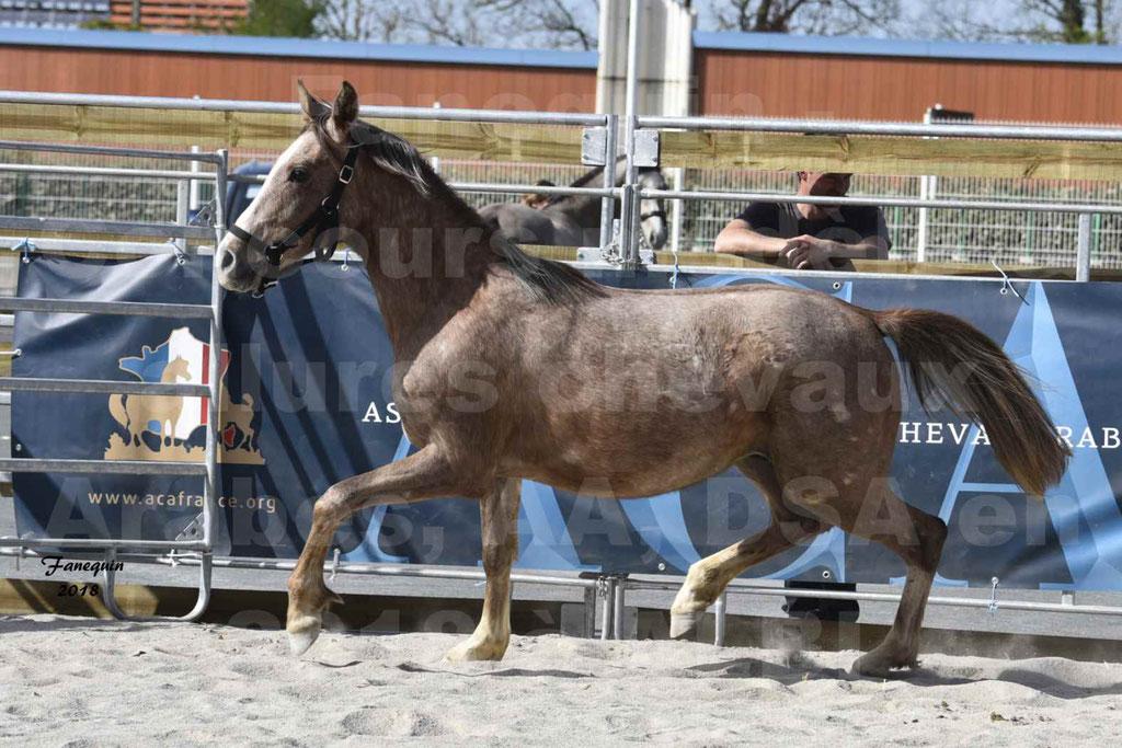 Concours d'élevage de Chevaux Arabes - Demi Sang Arabes - Anglo Arabes - ALBI les 6 & 7 Avril 2018 - GAZIM DU CARRELIE - Notre Sélection - 02