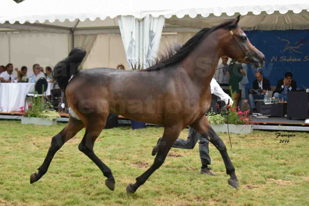 International Arabian Horse Show B de VICHY 2016 - MILLIAR - Notre Sélection - 26