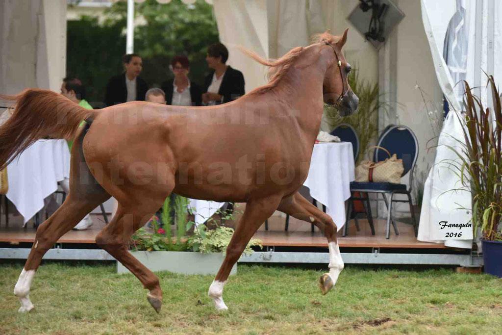 International Arabian Horse Show B de VICHY 2016 - DZHARI NUNKI - Notre Sélection - 15