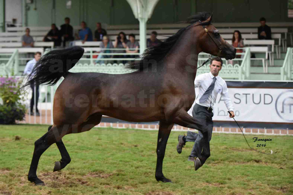 International Arabian Horse Show B de VICHY 2016 - MILLIAR - Notre Sélection - 18