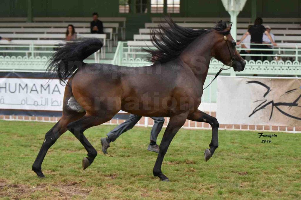 International Arabian Horse Show B de VICHY 2016 - MILLIAR - Notre Sélection - 20