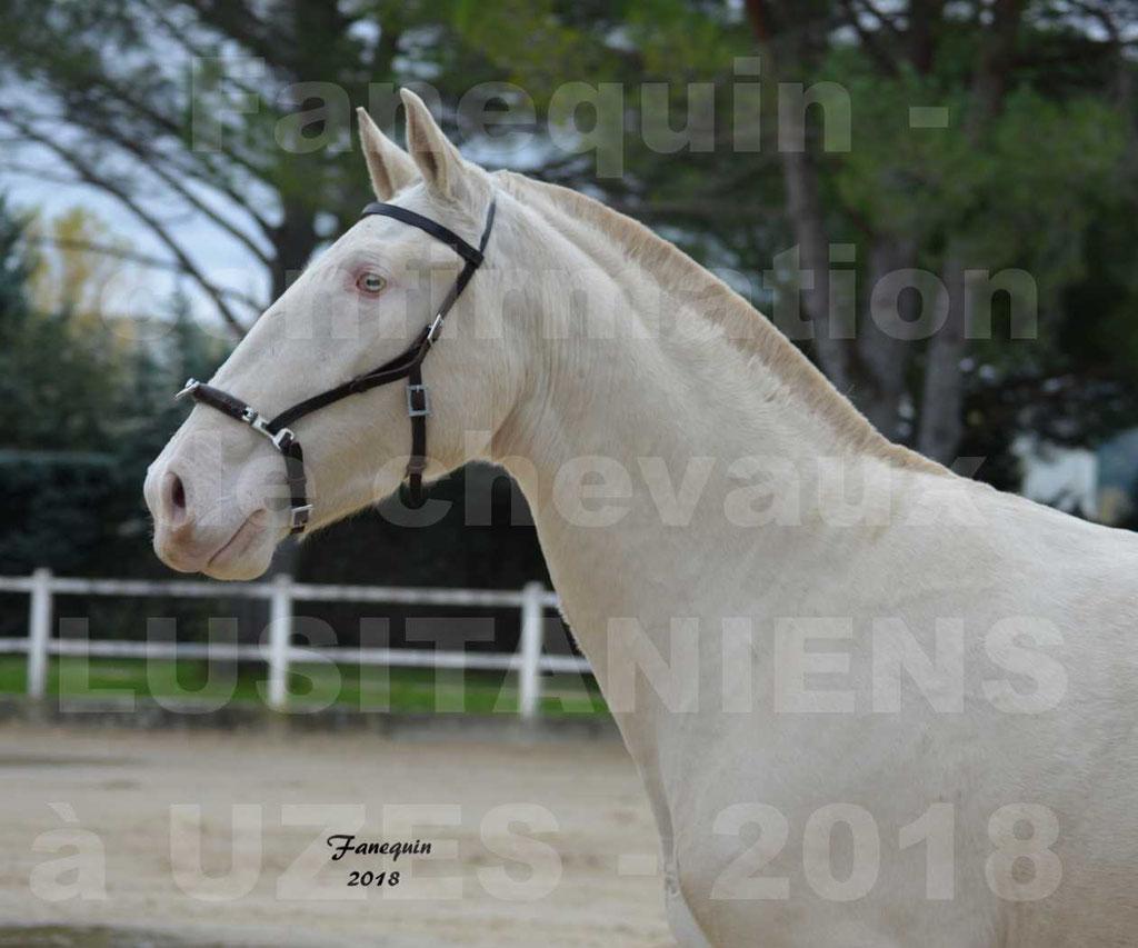 Confirmation de chevaux LUSITANIENS aux Haras d'UZES Novembre 2018 - LOLIBLOU - Portraits - 1