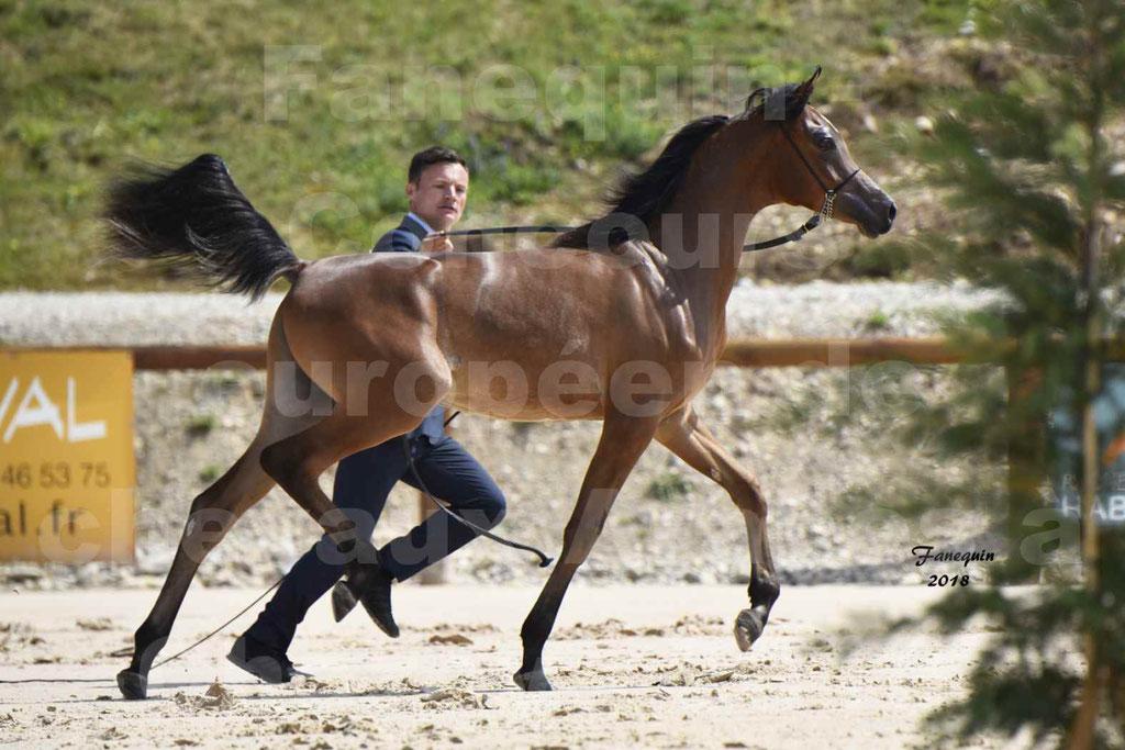 Concours Européen de chevaux Arabes à Chazey sur Ain 2018 - BO AS PRINCE SHAKAR - Notre Sélection - 5