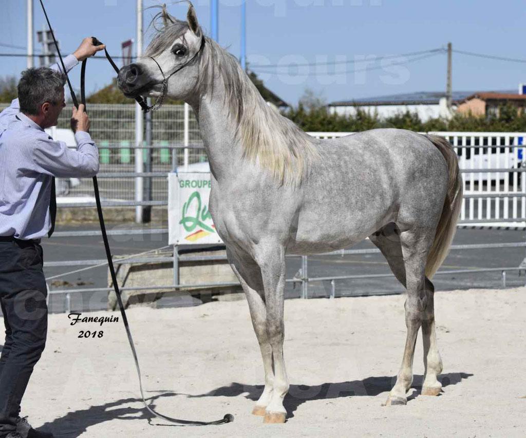 Concours d'élevage de Chevaux Arabes - Demi Sang Arabes - Anglo Arabes - ALBI les 6 & 7 Avril 2018 - SHAKEEL DE LAFON - Notre Sélection - 8