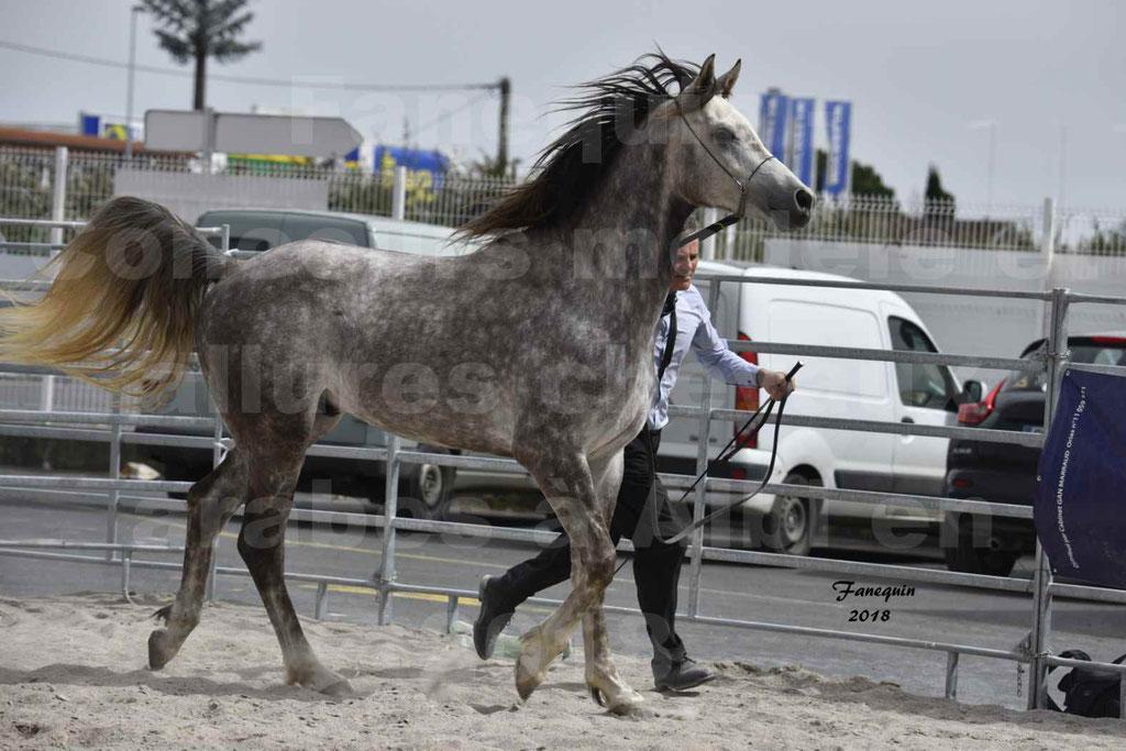 Concours d'élevage de Chevaux Arabes - Demi Sang Arabes - Anglo Arabes - ALBI les 6 & 7 Avril 2018 - PERCEVAL DE LAFON - Notre Sélection - 01