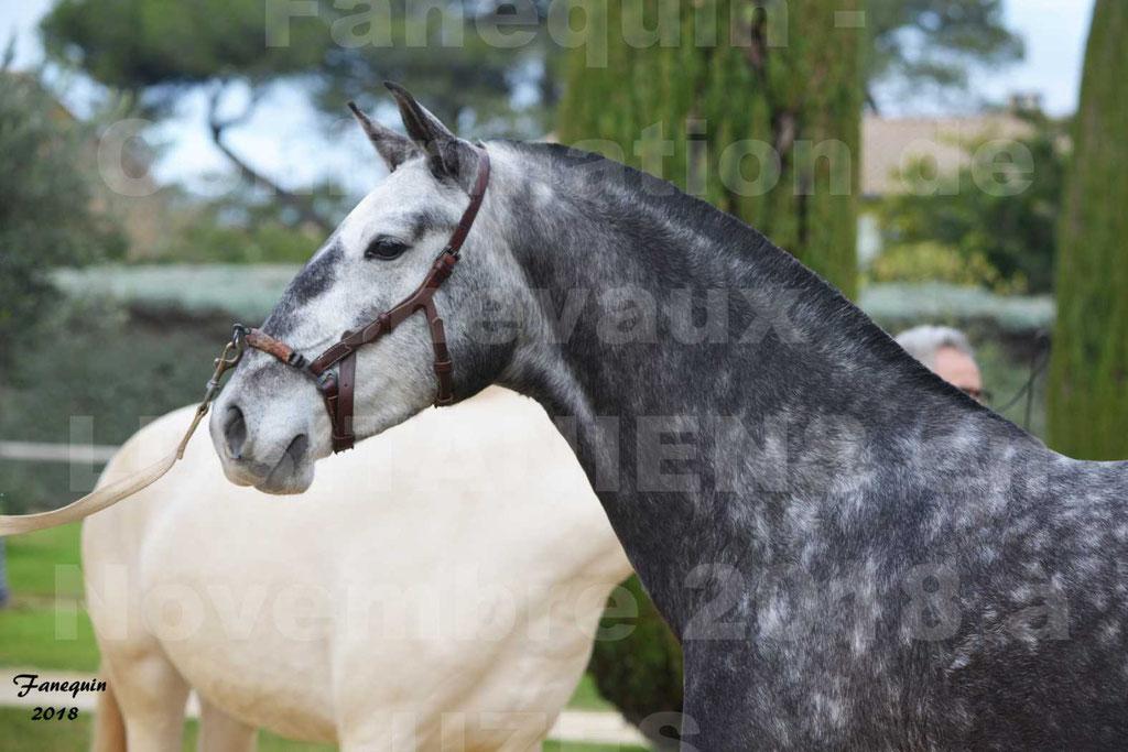 Confirmation de chevaux LUSITANIENS aux Haras d'UZES Novembre 2018 - JOYAS - Portraits - 5