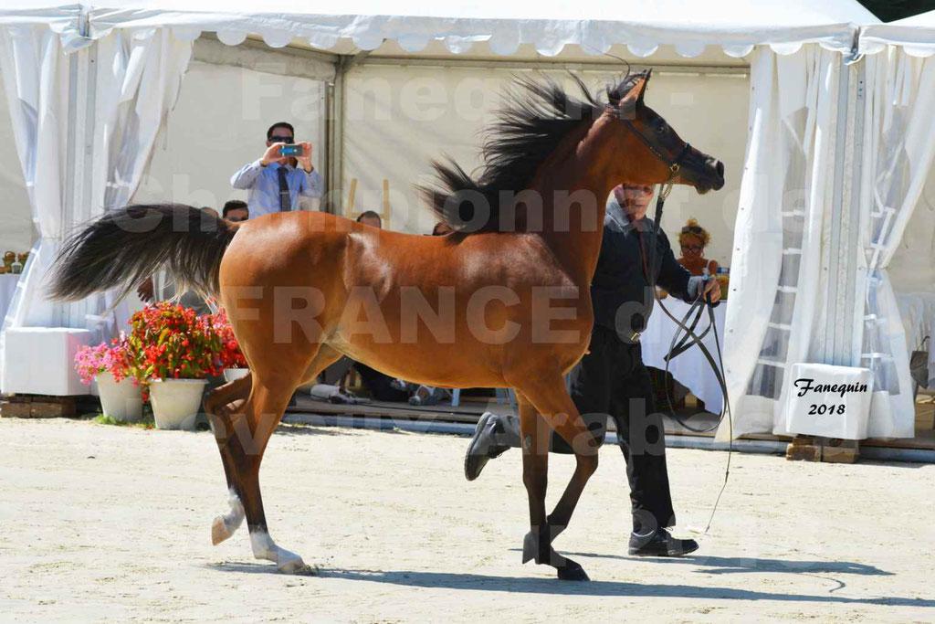 Championnat de FRANCE des chevaux Arabes à Pompadour en 2018 - SH CHARISMA - Notre Sélection - 14
