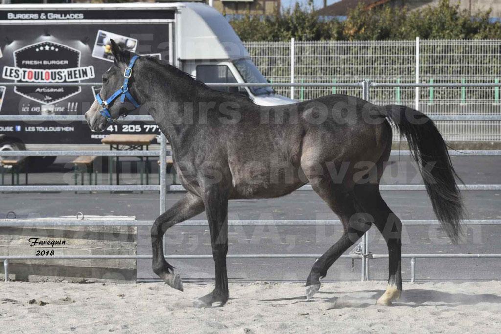 Concours d'élevage de Chevaux Arabes - Demi Sang Arabes - Anglo Arabes - ALBI les 6 & 7 Avril 2018 - BAZTAN - Notre Sélection - 8