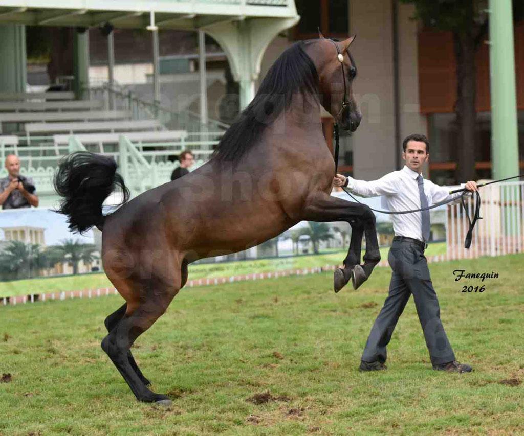 """International Arabian Horse Show B de VICHY 2016 - MILLIAR - Notre Sélection - """"Cabrages"""" - 2"""