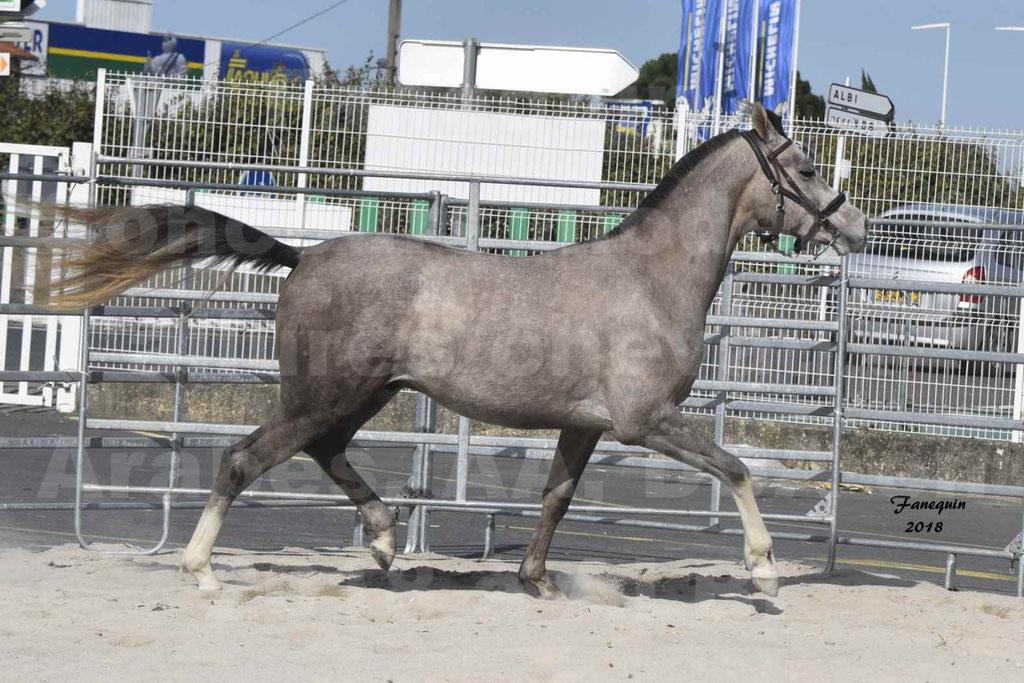 Concours d'élevage de Chevaux Arabes - Demi Sang Arabes - Anglo Arabes - ALBI les 6 & 7 Avril 2018 - GRIMM DE DARRE - Notre Sélection - 04