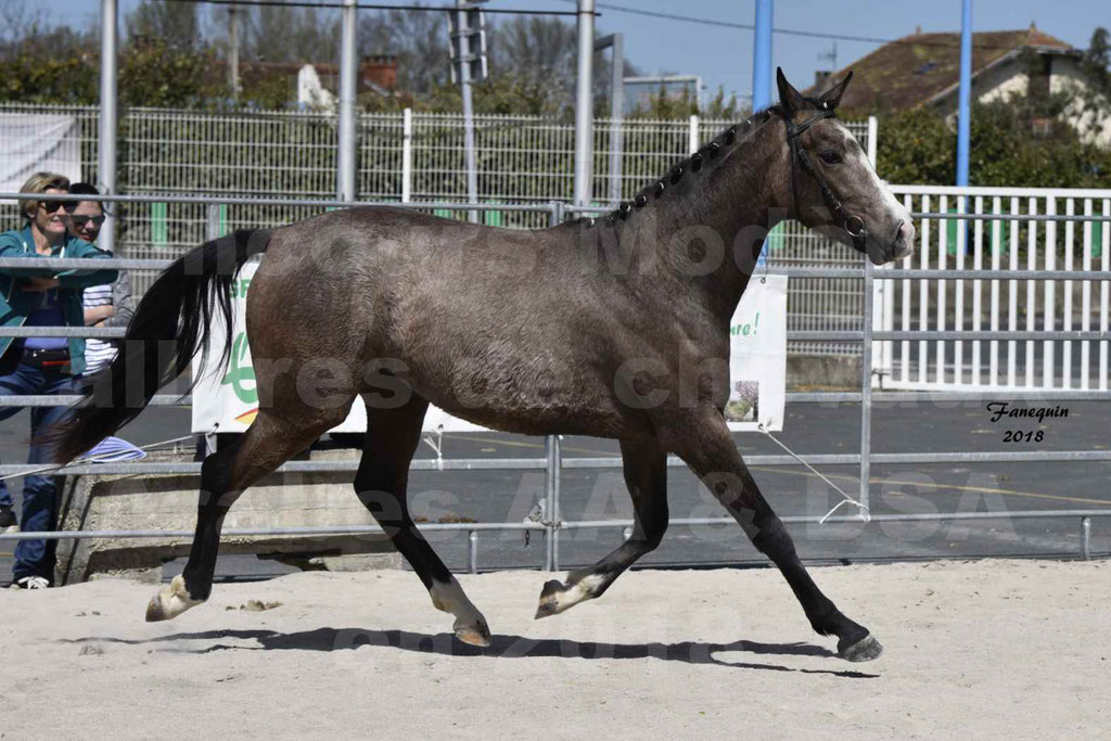 Concours d'élevage de Chevaux Arabes - Demi Sang Arabes - Anglo Arabes - ALBI les 6 & 7 Avril 2018 - GOLD OF MARTRETTES - Notre Sélection - 03