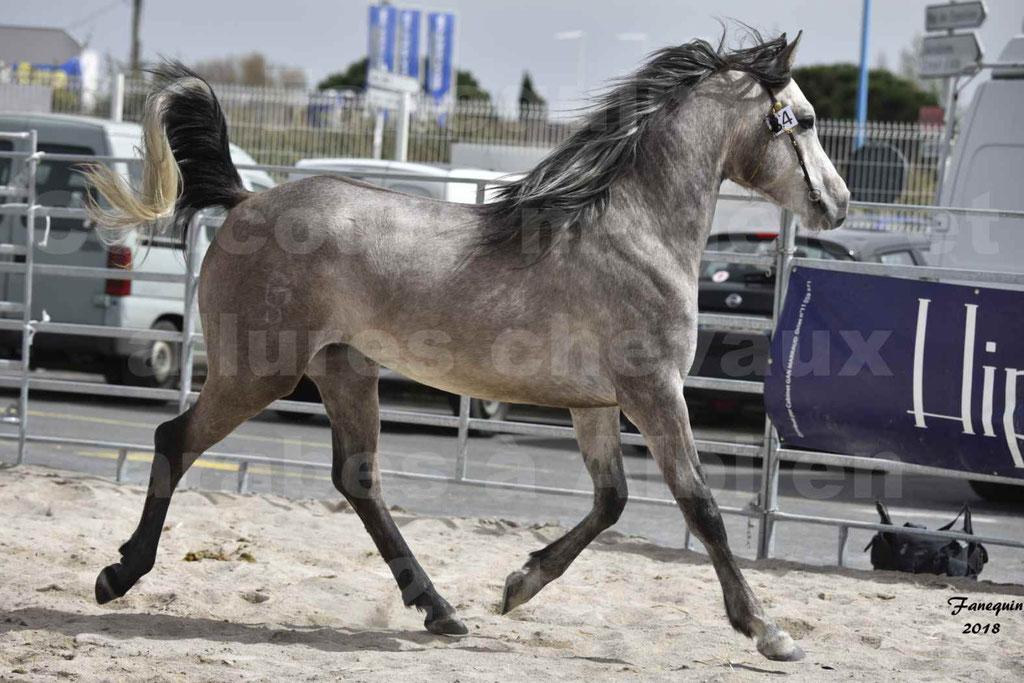 Concours d'élevage de Chevaux Arabes - Demi Sang Arabes - Anglo Arabes - ALBI les 6 & 7 Avril 2018 - FLORAC LARZAC - Notre Sélection - 4
