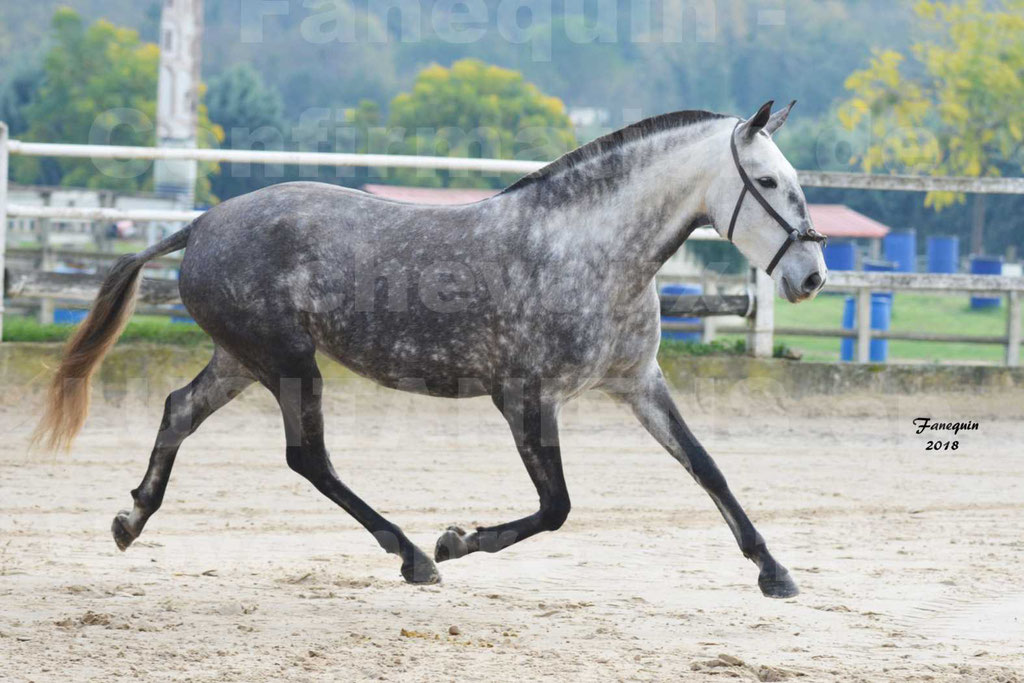 Confirmation de chevaux LUSITANIENS aux Haras d'UZES Novembre 2018 - JAVA DO REAL - 13