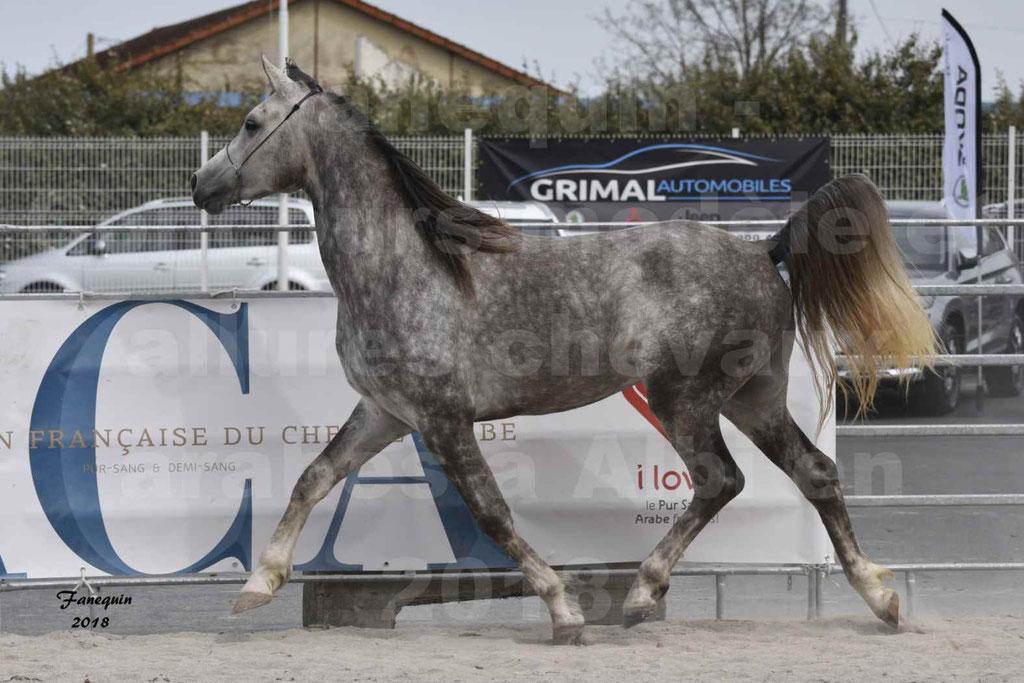 Concours d'élevage de Chevaux Arabes - Demi Sang Arabes - Anglo Arabes - ALBI les 6 & 7 Avril 2018 - PERCEVAL DE LAFON - Notre Sélection - 16