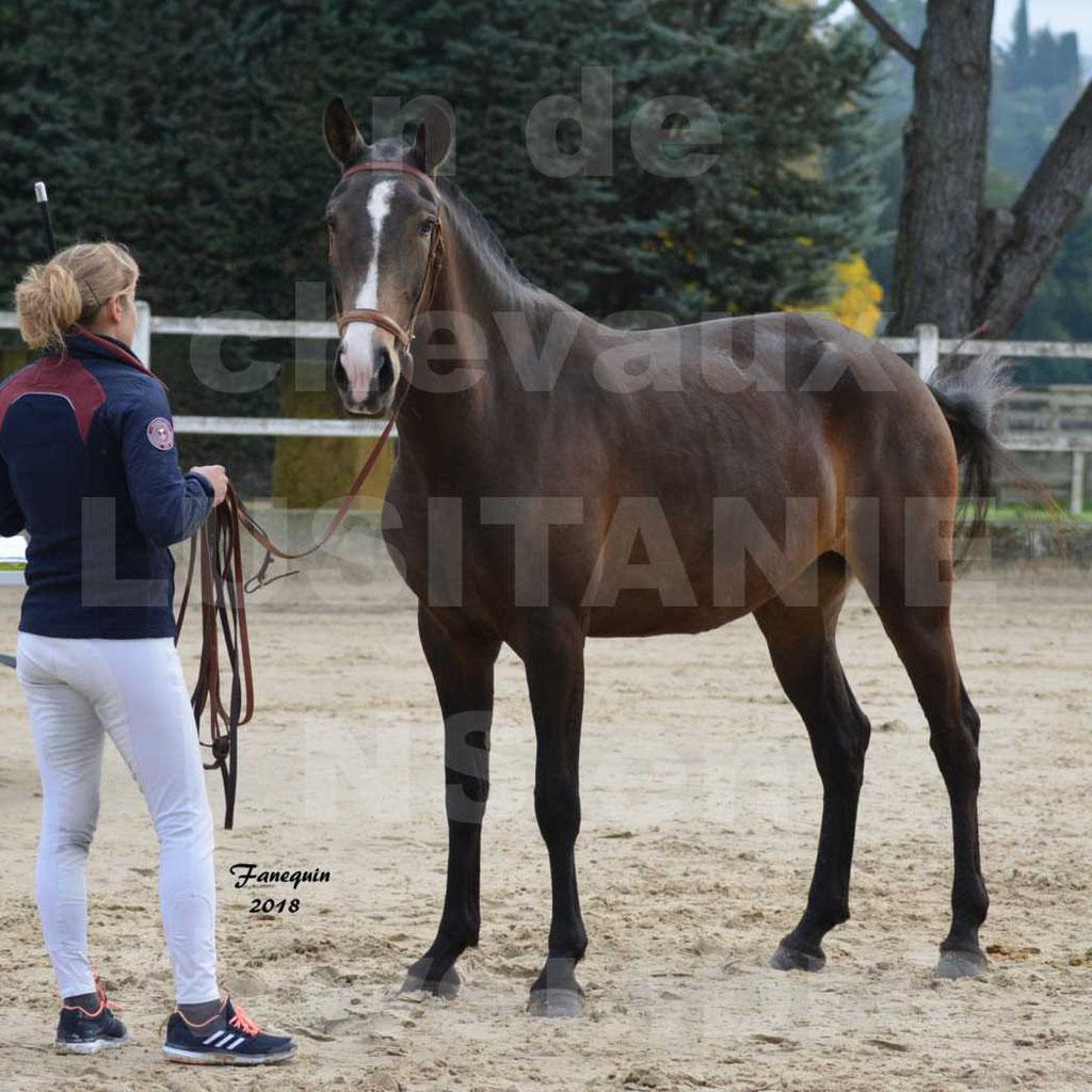 Confirmation de chevaux LUSITANIENS aux Haras d'UZES Novembre 2018 - LOUNA DU CASTEL - 20